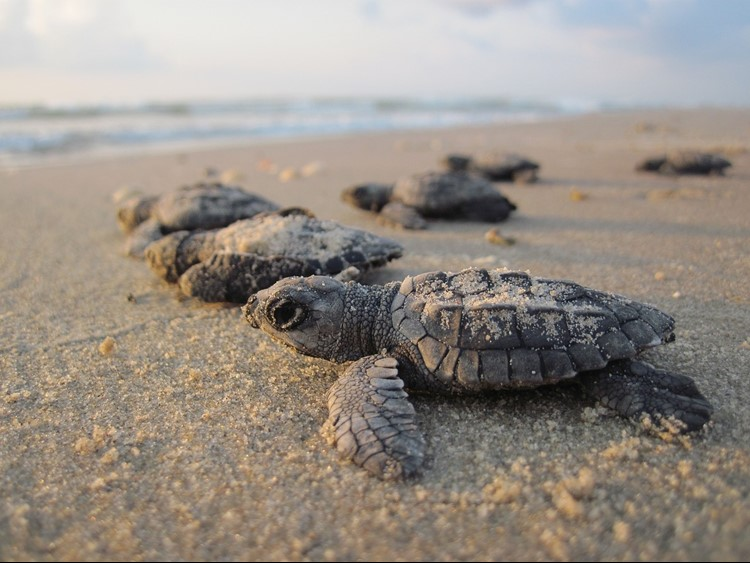 Turtle hatchlings making their way out to sea
