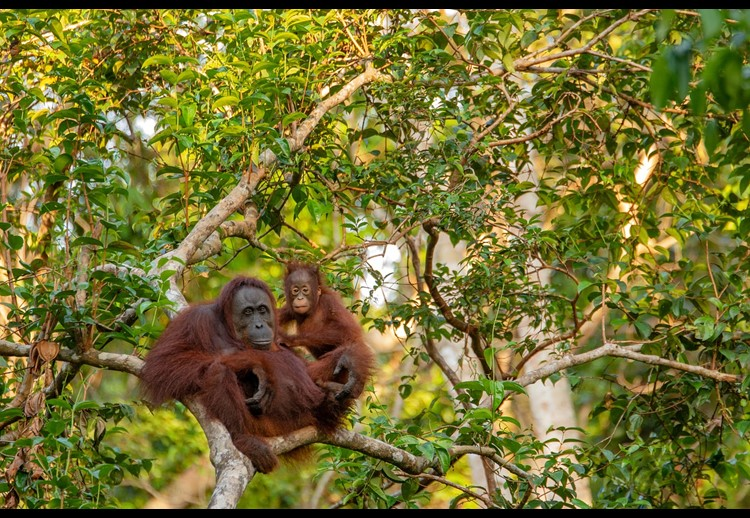 Mother and baby orangutan resting in the trees