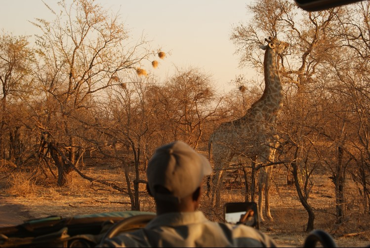 Man on Safari watching a giraffe eat from a tree