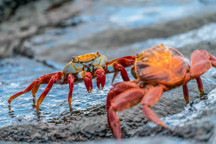 Red crabs on the Galapagos Islands