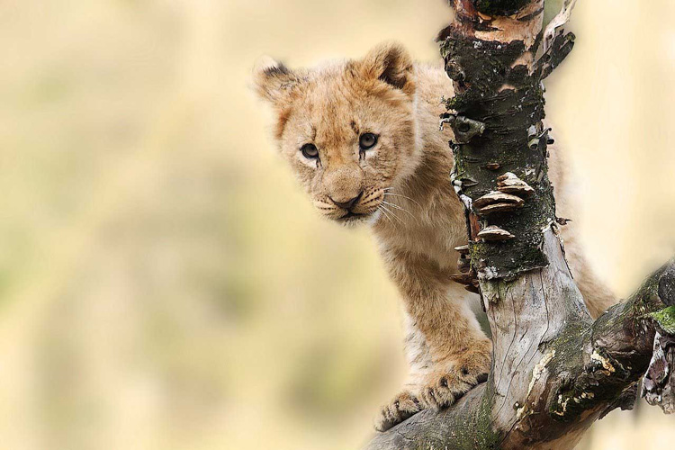 Lion cub standing on a branch in the wilds of Africa