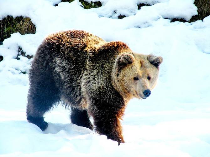 A brown bear walking in the snow in Romania