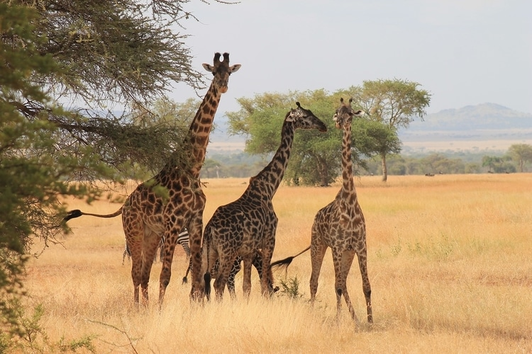 A group of giraffes in the wilds of Tanzania, Africa