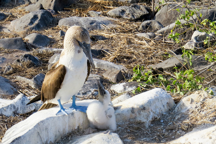 A blue footed booby bird feeding it's young